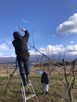 柿の木の選定指導