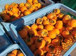 柿収穫かごいっぱいに
