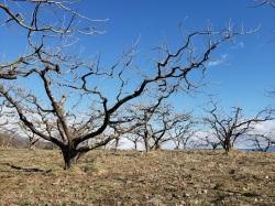 2月の柿の木