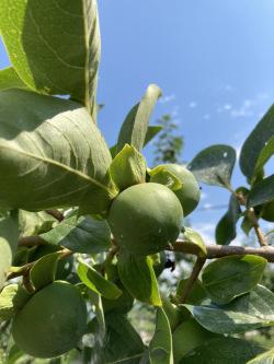 柿の若い実