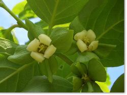 市田柿の白い花