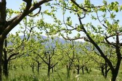 柿畑の様子5月