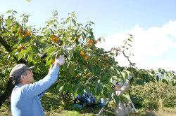 柿収穫2018