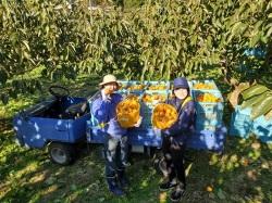 柿の収穫2019