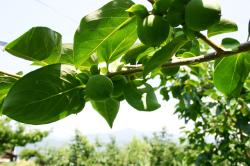 夏の市田柿