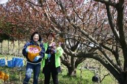 桜収穫スタッフ