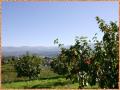 市田柿園と南アルプス